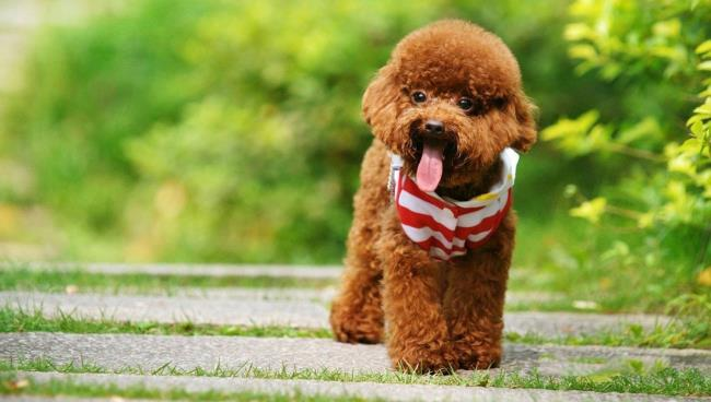 Synthese des schönsten Pudelhundes