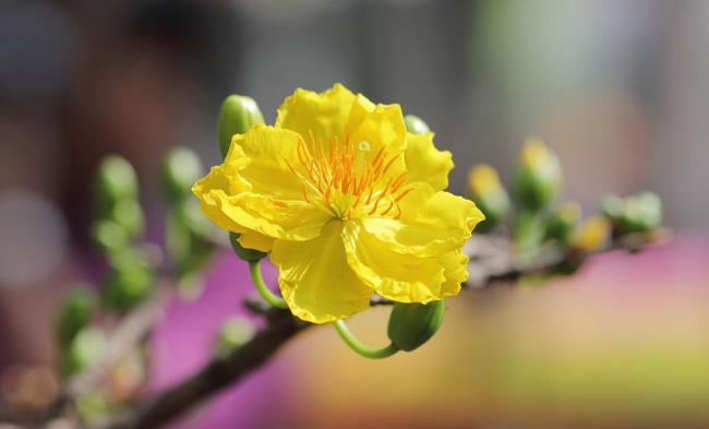 सबसे सुंदर पीले खुबानी फूलों का सारांश