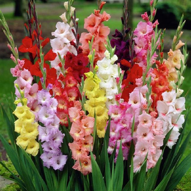 Rezumatul imaginilor frumoase cu gladiol roz