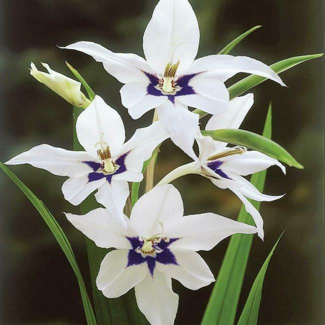 Rezumatul imaginilor frumoase cu gladiol alb