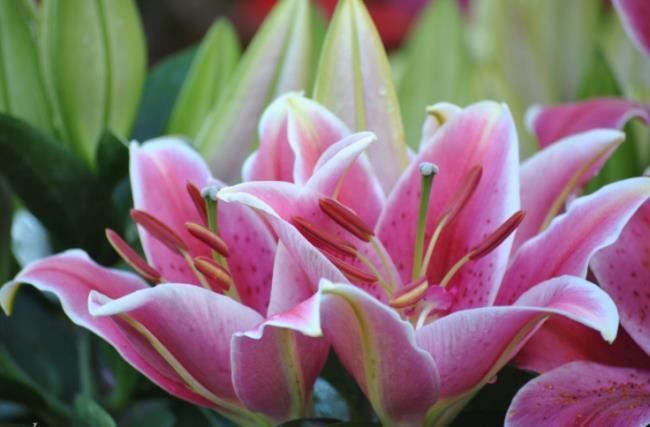 सुंदर बाख हॉप फूल - सबसे सुंदर बाख हॉप फूल चित्र 1