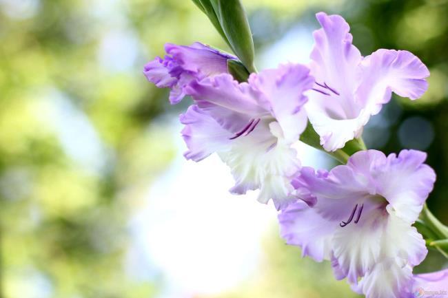 Rezumatul imaginilor frumoase cu gladiol violet