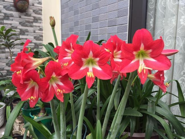 Photos de beaux lys rouges