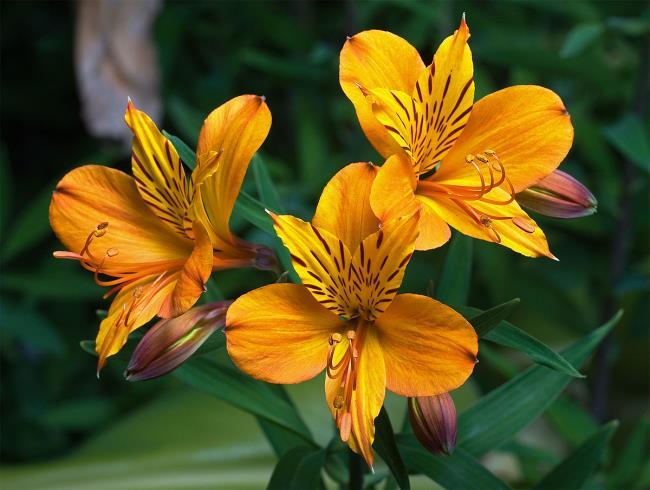 सुंदर बाख हॉप फूल - सबसे अच्छा बाख हॉप फूल चित्र 3