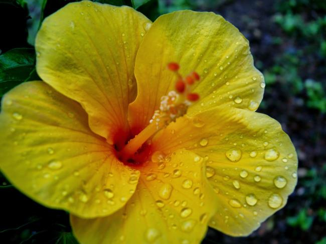 Origine de la fleur d'hibiscus