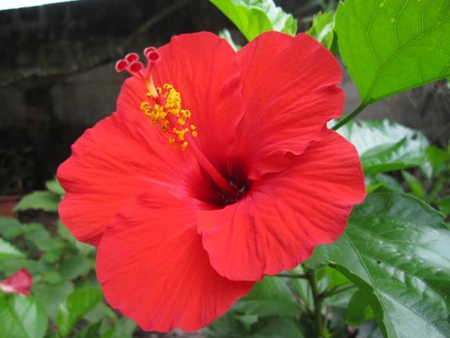 La signification de la fleur d'hibiscus