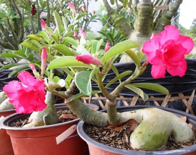 सबसे सुंदर लाल चीनी मिट्टी के बरतन फूल का सारांश