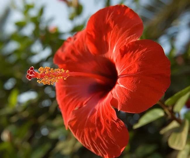 Résumé de belles images d'hibiscus