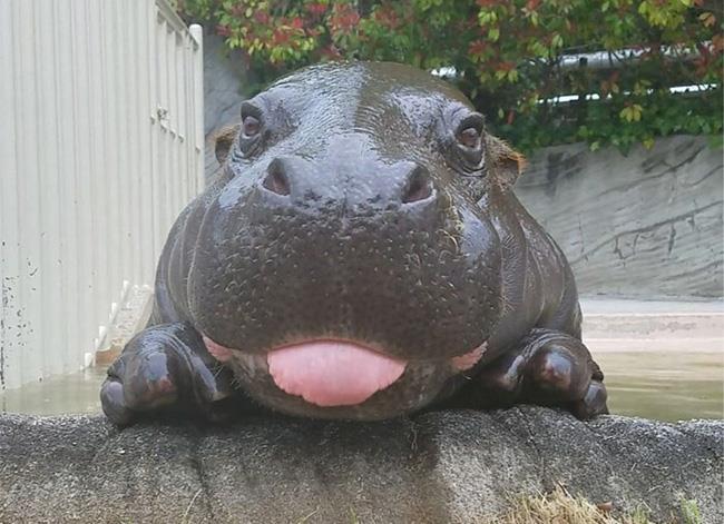 Resumo da mais bela imagem de hipopótamo