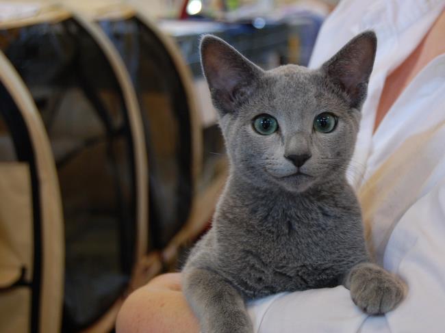 सबसे सुंदर नीली आंखों वाली रूसी बिल्ली की छवि का सारांश