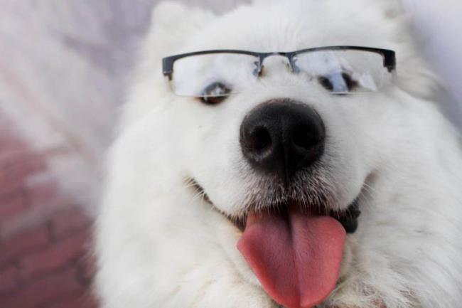 Sammlung der schönsten Samojeden-Hundebilder