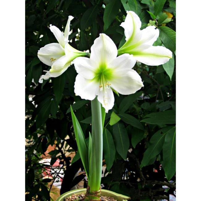 Belles images de lys blancs