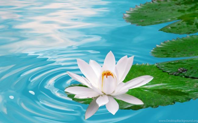 خلاصه ای از زیباترین تصاویر نیلوفر آبی