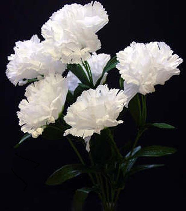 सुंदर सफेद कार्नेशन तस्वीरें