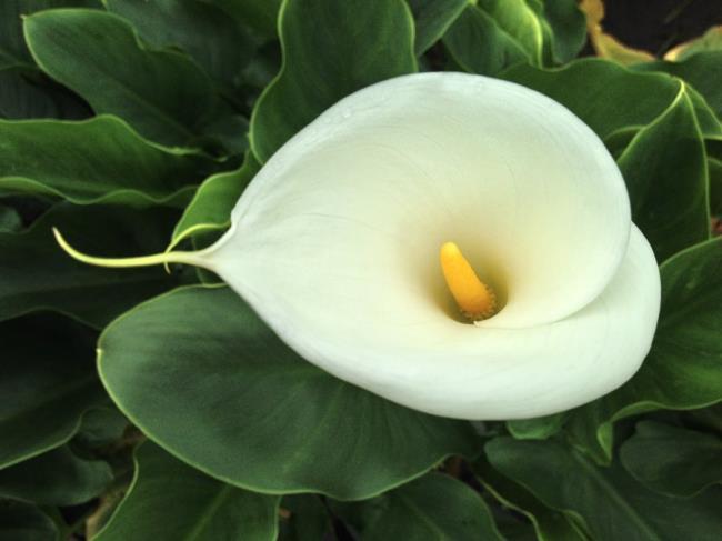 सुंदर बाख हॉप फूल - सबसे सुंदर बाख हॉप फूल चित्र 5