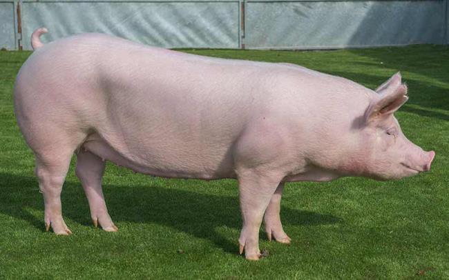 مجموعه ای از زیباترین تصویر خوک