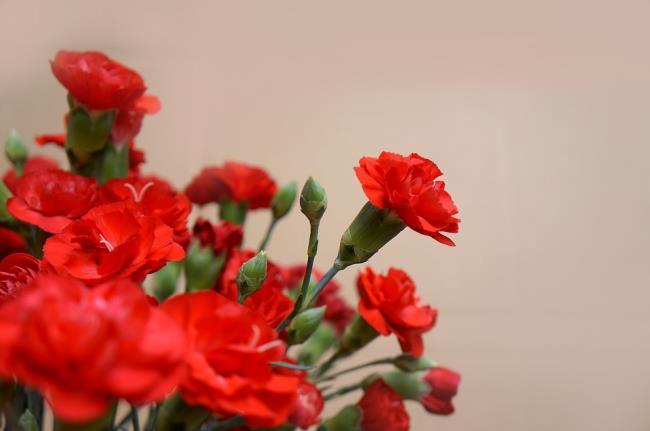 सुंदर लाल कार्नेशन चित्र