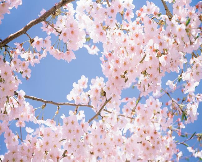 Der Ursprung der Kirschblüten