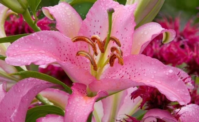 सुंदर बाख हॉप फूल - सबसे अच्छा बाख हॉप फूल चित्र 6