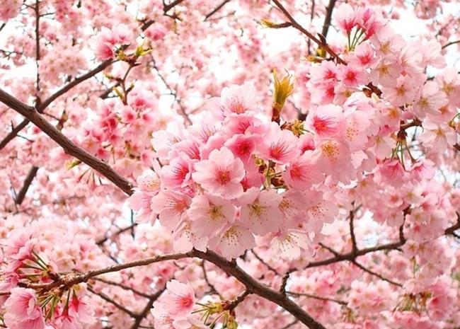 Die Bedeutung von Kirschblüten