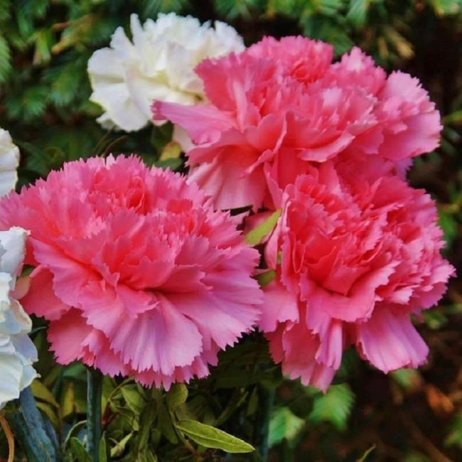 सुंदर गुलाबी कार्नेशन चित्र