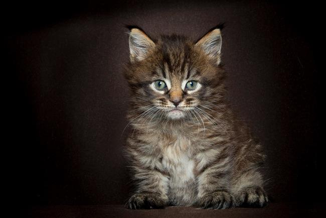 सबसे सुंदर मणि कून बिल्ली की छवियों का संग्रह