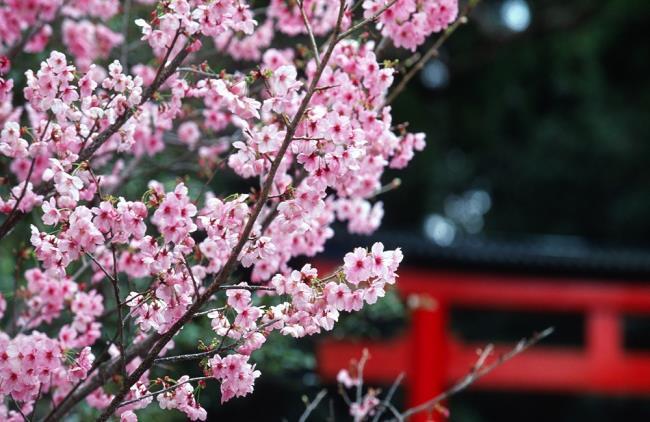 Bilder von schönen japanischen Kirschblüten