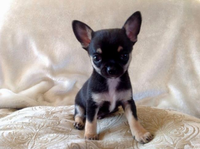 सबसे सुंदर चिहुआहुआ कुत्ते का सारांश