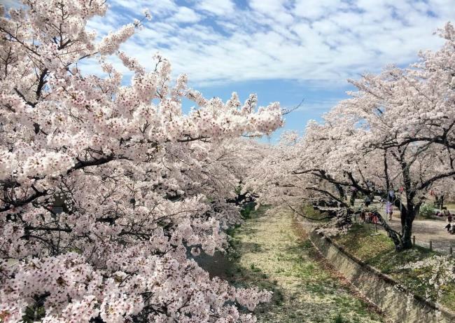 Schönes Land der Kirschblüten