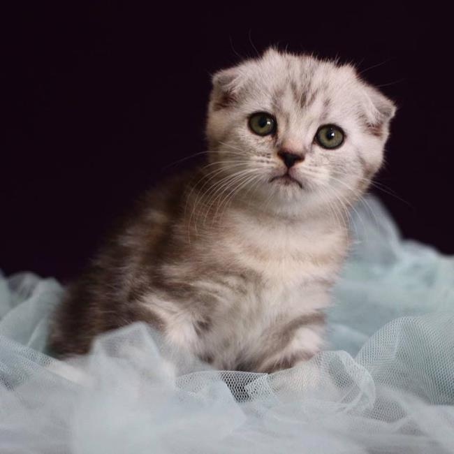 सबसे सुंदर स्कॉटिश गुना बिल्ली के कान का सारांश