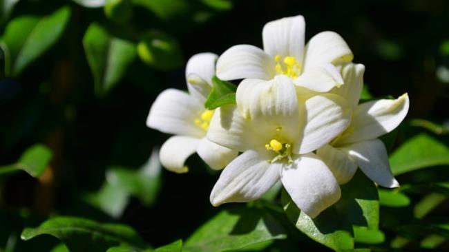 Combinando imagens das mais belas flores de louro