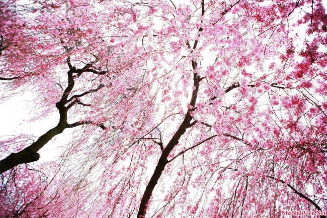 Bilder von schönen Kirschblüten nach dem Winter