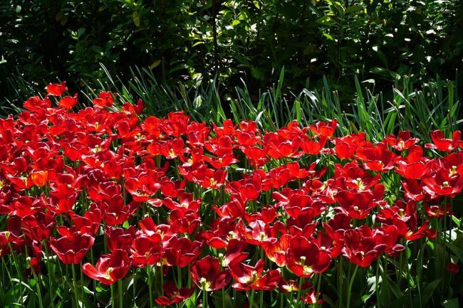 Schöne rote Tulpenbilder