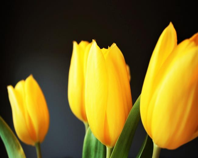 Schöne gelbe Tulpenbilder