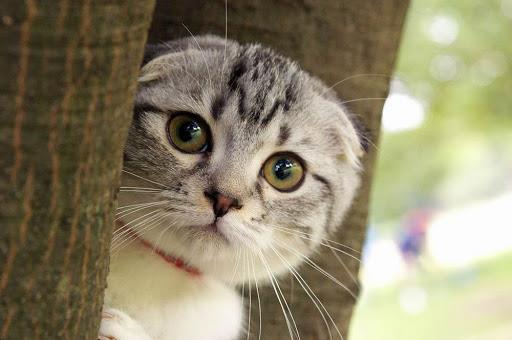 Краткая информация о самых красивых кошачьих ушах Скоттиш фолд