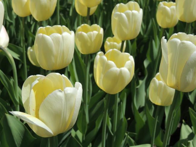 Schöne weiße Tulpenbilder