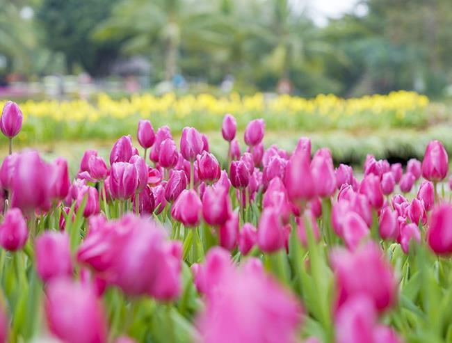 Schöne lila Tulpenbilder