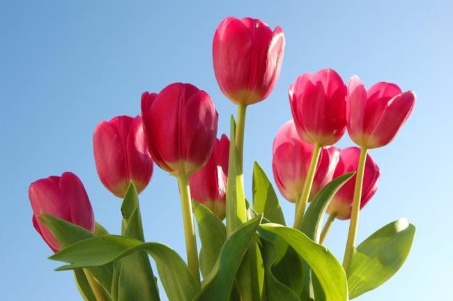 Schöne rosa Tulpenbilder
