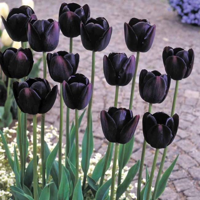 Schöne schwarze Tulpenbilder