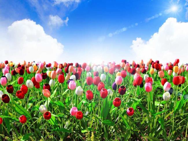 Fotos schöne holländische Tulpenfelder