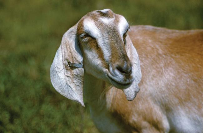 सबसे सुंदर बकरी चित्रों का संग्रह