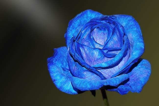 Sammlung der schönsten blauen Rosenbilder