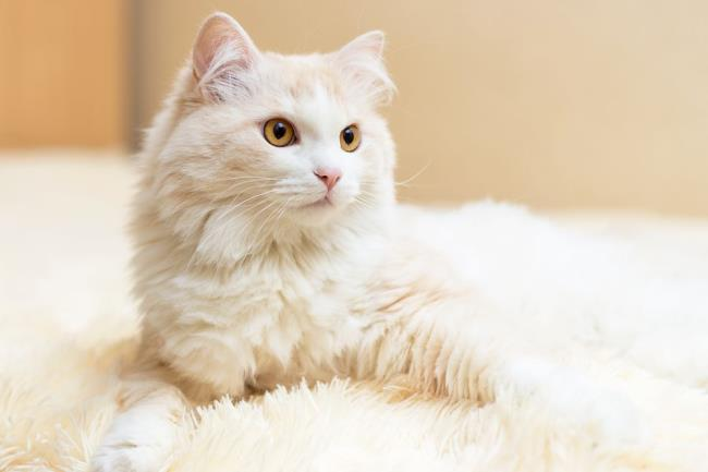Collection des plus belles photos de chats angora turc