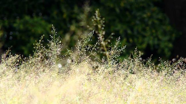 सुंदर सिलाई घास के फूल के चित्र