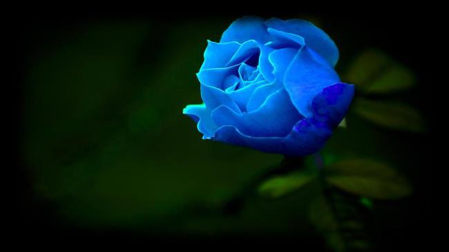 सबसे सुंदर नीले गुलाब छवियों का संग्रह