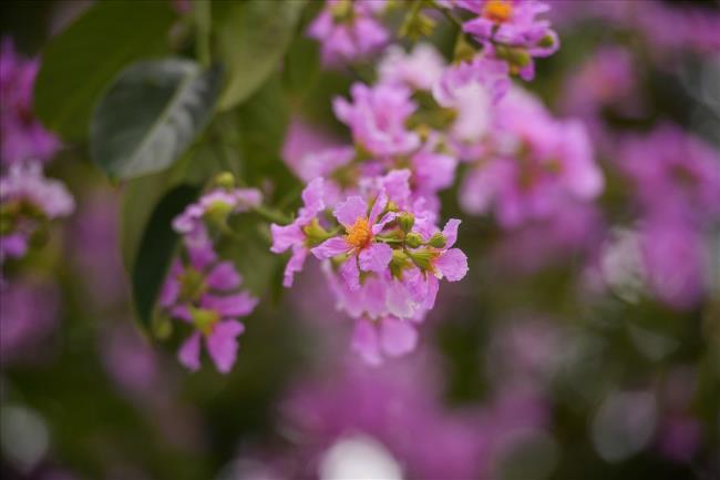 Поэзия о фиолетовых цветах Лагерстремии