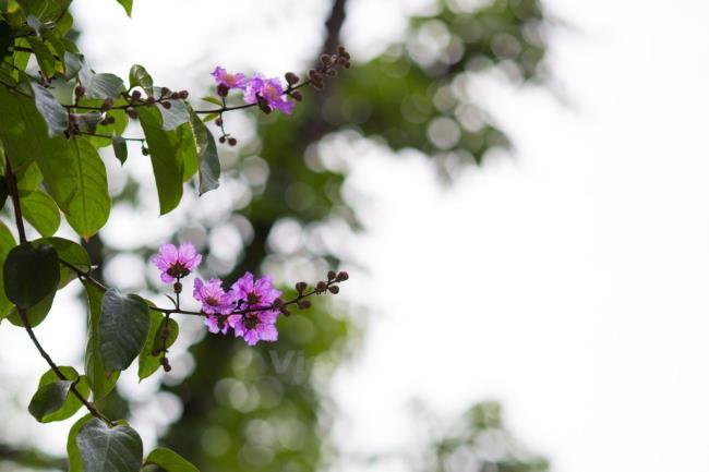 Лагерстремия цветов в поэзии