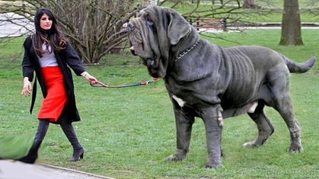 Die 10 größten Hunderassen der Welt