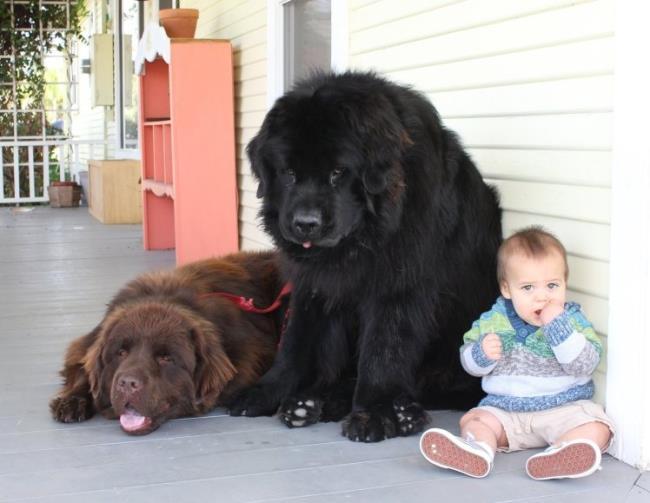dünyanın en büyük köpek ırkı