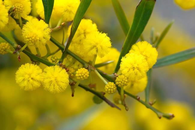 Koleksi bunga Mimosa yang paling indah